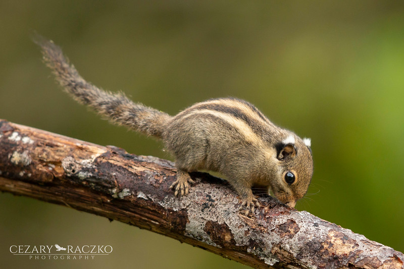 Himalayan Striped Squirrel (Tamiops mcclellandii)