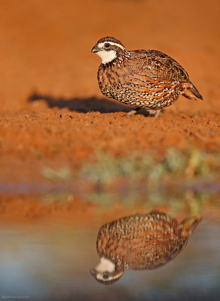 Northern Bobwhite at sunset