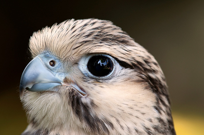 Lugger falcon portrait Eyass tiercel
