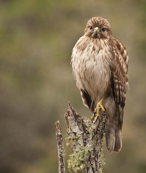 Red-Shouldered Hawk sitting on his perch by the roadside in Appalachiacola, FPr