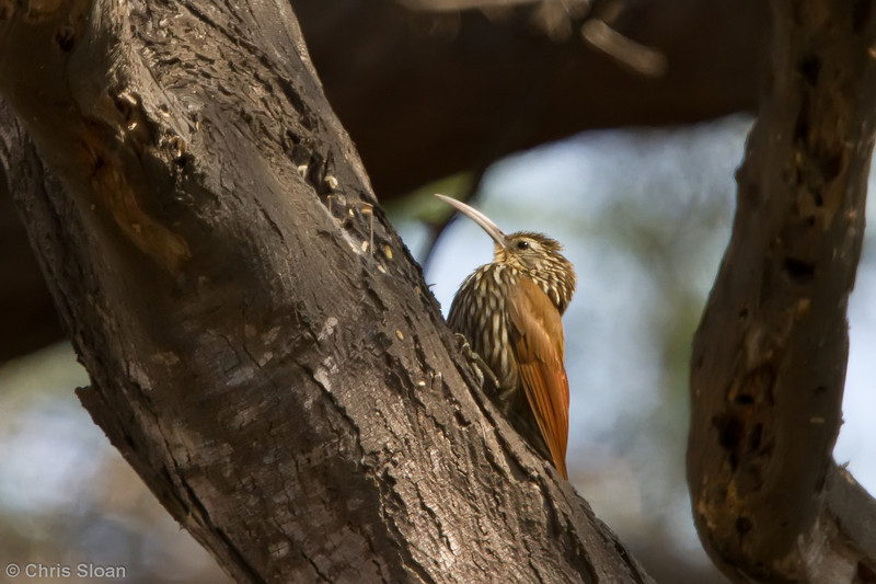 Streak-headed Woodcreeper at Bosque de Pomac, Lambayeque, Peru (06-26-2010) 058-Edit