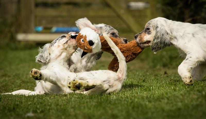 english-setter-puppies-uk-scaled.jpeg