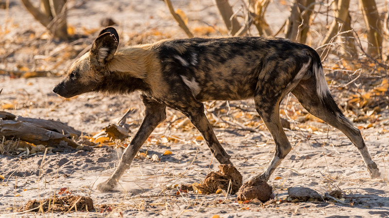 Wild Dog Moving Off