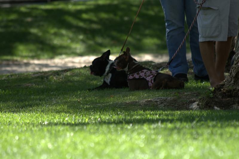 boston terrier oct 2010 181.jpg