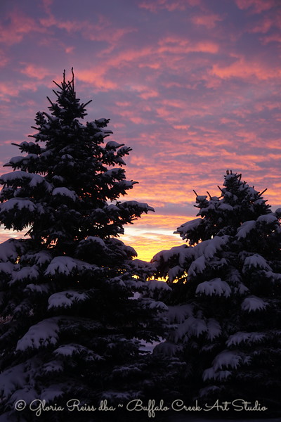 Snowy Pines in Morning