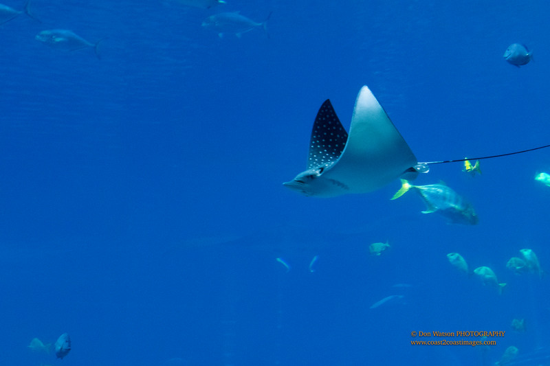 """""""Spotted Eagle Ray"""""""
