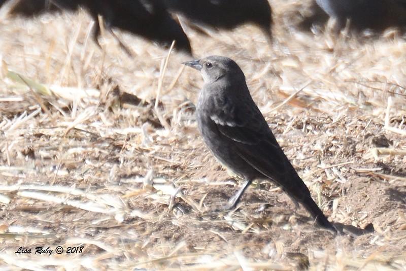 Tricolored Blackbird  - 1/7/2018 - Rangeland Road, Ramona