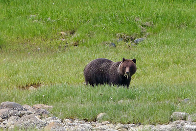 Brown Bear Eating Marsh Grasses June 2014, Cynthia Meyer, Chichagof Island, Alaska