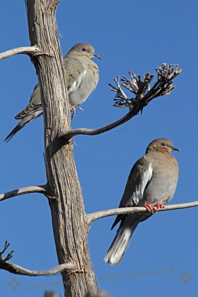 White-winged Doves ~ These are the most common doves in Las Cruces, New Mexico, where I visited this month.  They have beautiful red eyes, circled in blue.