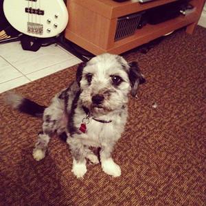 Alex & Britt's dog - Pepper