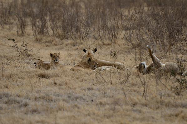 Lions of Tanzania