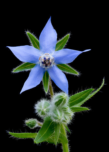 Borage, this is a really good bee attractor if you want to help the pollination in your garden, its a herb and the leaves are edible and taste like cucumber.
