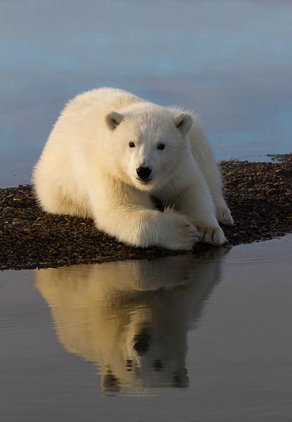 Polar Bear 42