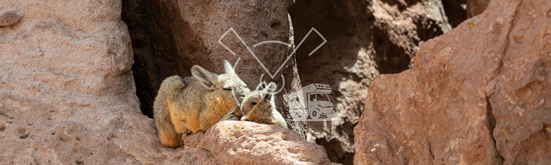 Mother and baby Viscacha sunbathing at Eduardo Avaroa Andean Fauna National Reserve