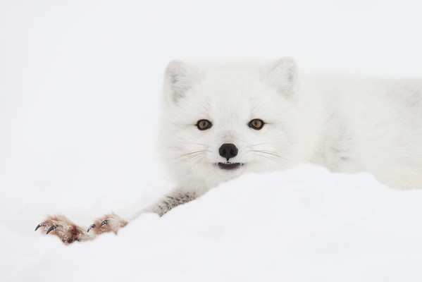 Polar Bears and Arctic Fox