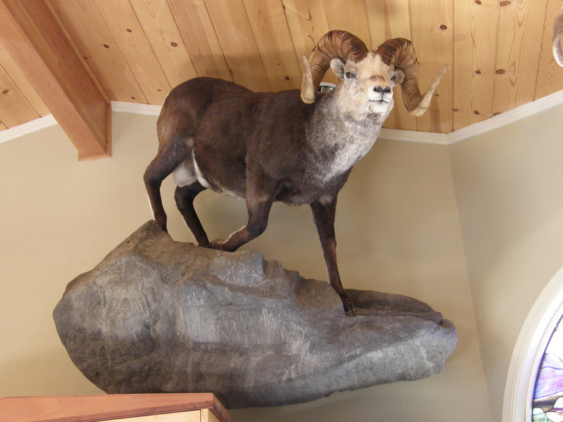 Life-size Stone Sheep Mount Anderson Taxidermy & Guide Service, Inc.  www.THEHUNTPRO.com