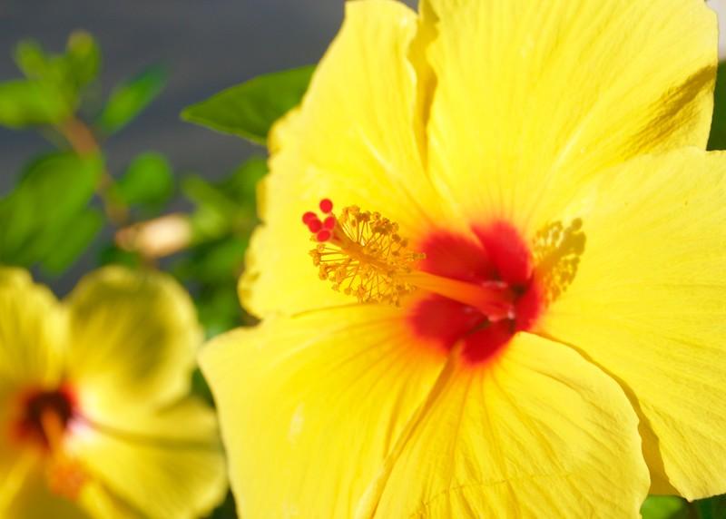 Yellow Hibiscus Close up.jpg