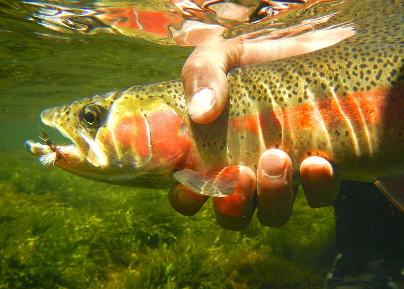 Underwater Trout.jpg