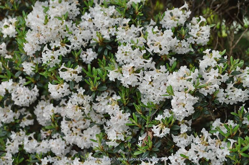 Rhododendron cephalanthum