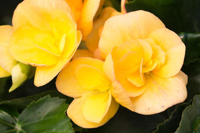 Golden Begonias - Matted Print $30