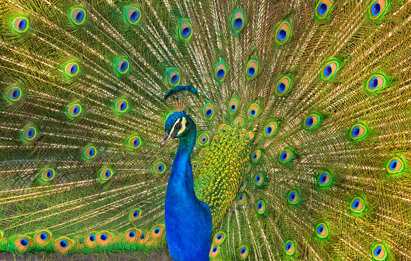 293-Brilliant Peacock 6.JPG