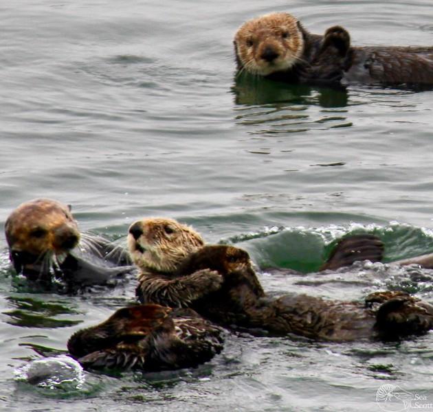 Sea Otter Colony