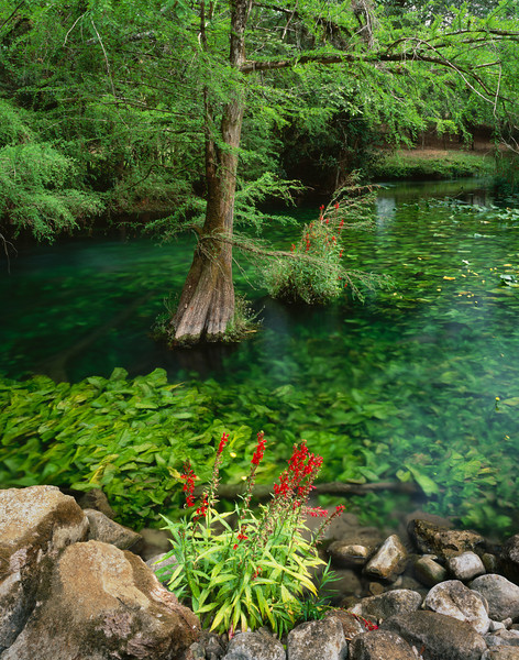Tamaulipas, Mexico / El Cielo Biosphere Reserve cloud forest, Rio Frio, with Cypress, Taxodium sp, flowering Lobelia cardinalis and submerged emerald colored Nupher polysepala. 204V6