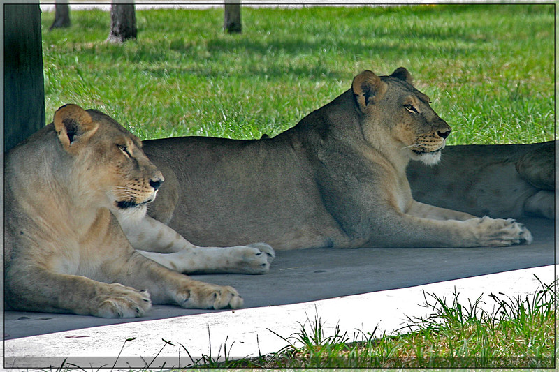 127_PalmBeach_LionCountry_July2005.jpg