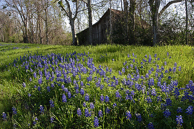 A very dry sub-par year for bluebonnets in Texas but Grimes and Washington Counties were the exceptions with a surprise second bloom.