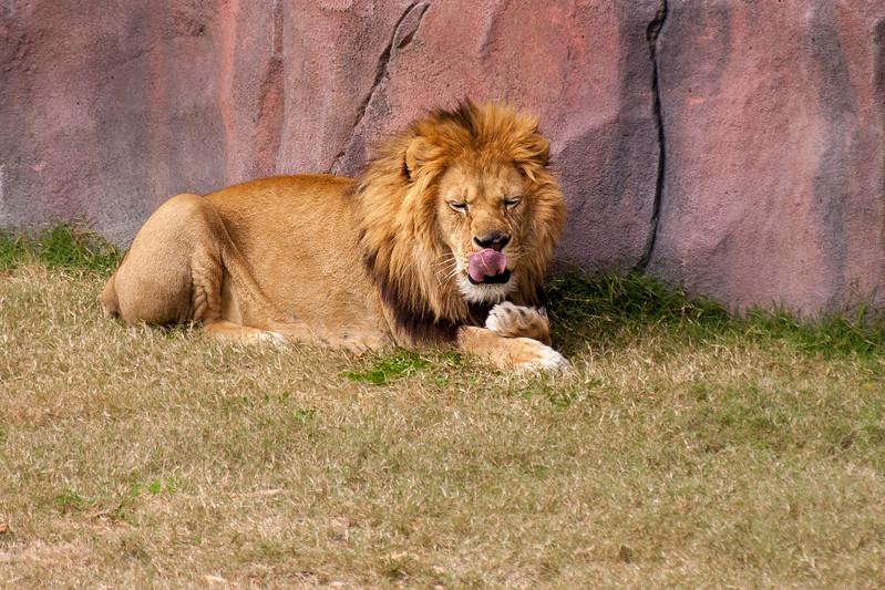 Lion-9702.jpg