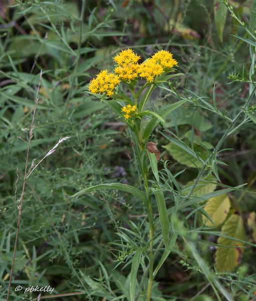 """09-02-17.  This Goldenrod is tentatively identified as Riddell 's, Soldago riddellii,  rare in this area.  A few plants have been in the same place here for years, but until the publication of """"Goldenrods  of NE Ohio"""", from the Cleveland Museum of Natural History, I couldn't identify it.  CSW is loaded with many types of Goldenrod and will be a project for next year."""