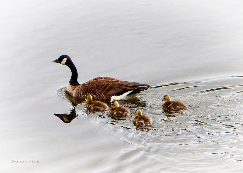 geese6494.jpg
