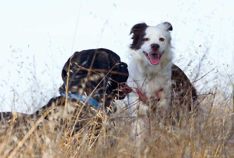 Two dogs playing on Fairmont Ridge.