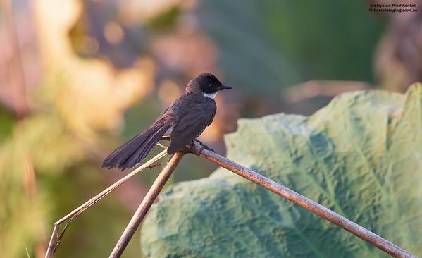 Fantails Family Rhipiduridae