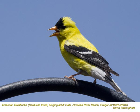 American Goldfinch singing M28010.jpg