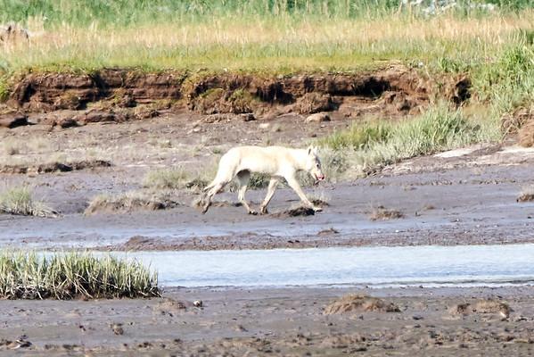White Wolf Hallo Bay Katmai Alaska 2020