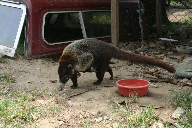 The pisote (coati) looks a bit like a racoon with a really long tail