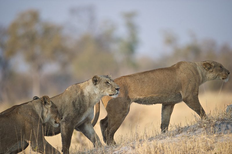 Lion females hunting, Selinda Reserve, Botswana