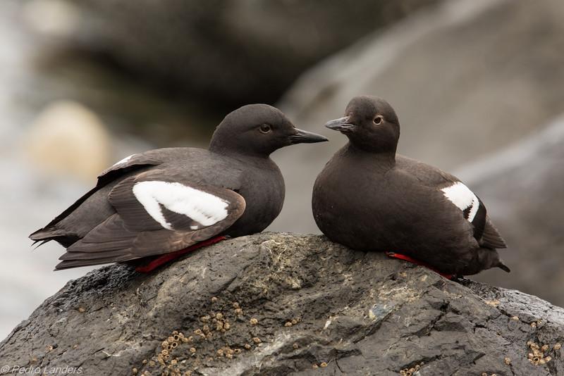 Pigeon Guillemots.jpg