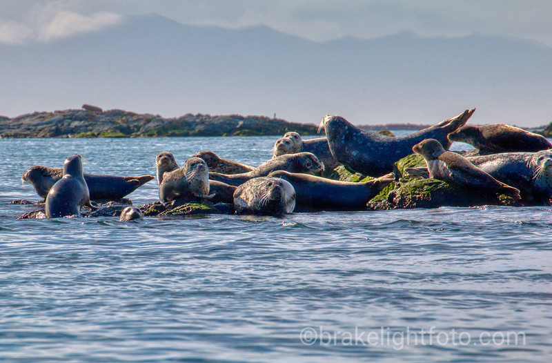 Harbour Seals in the Great Chain Islets