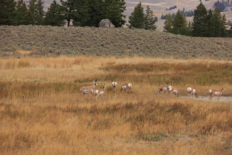 Pronghorn Antelope 001