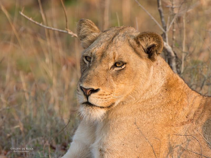 African Lion, Sabi Sands (EP), SA, Sept 2015-21.jpg