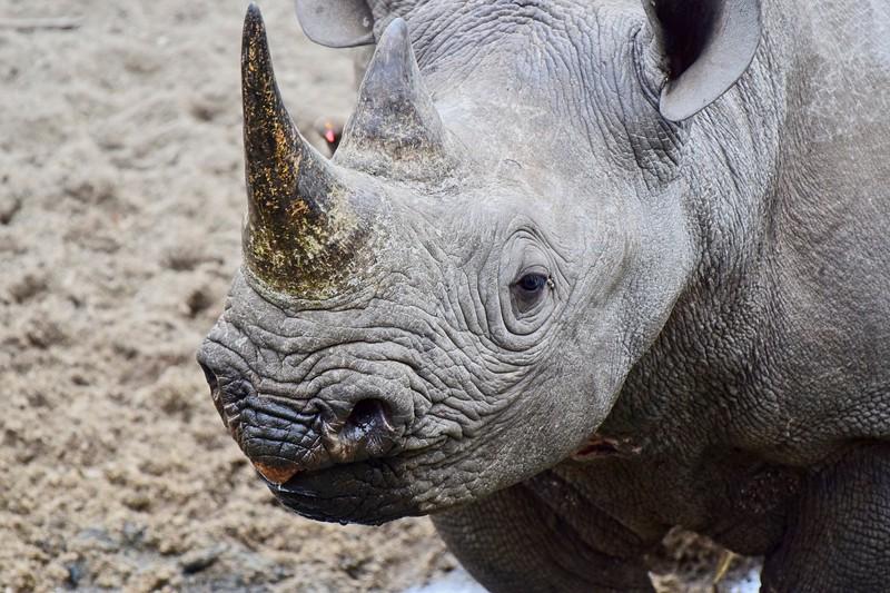Black Rhino 2.jpg