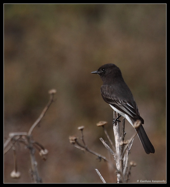 Black Phoebe, Famosa Slough, San Diego County, California, December 2008