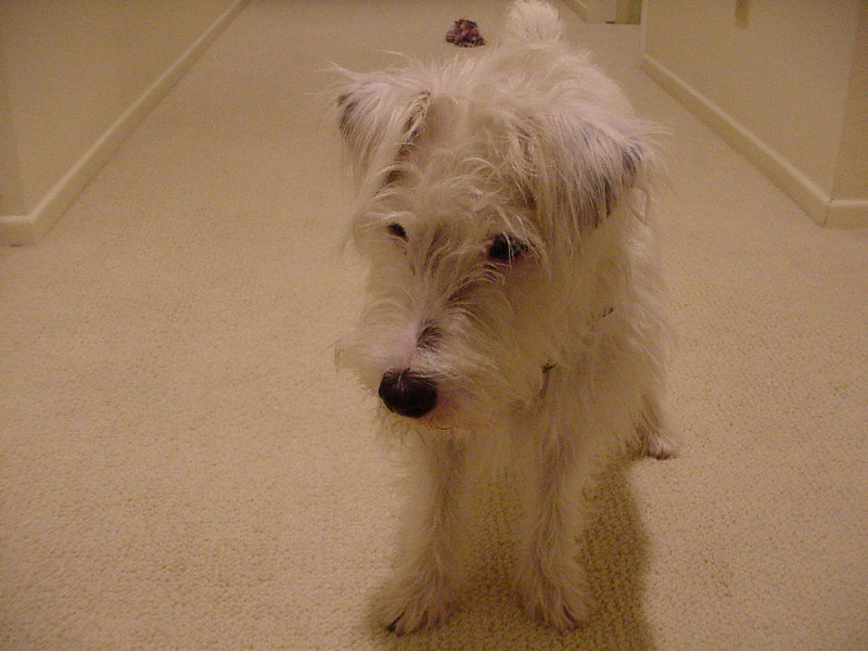 10/2000 Whitty was whelped in January 2000, and I got him in June, 2000.  He loved running up and down the upstairs hallway in my Ridgeway home. He and Abbey would chase one another.