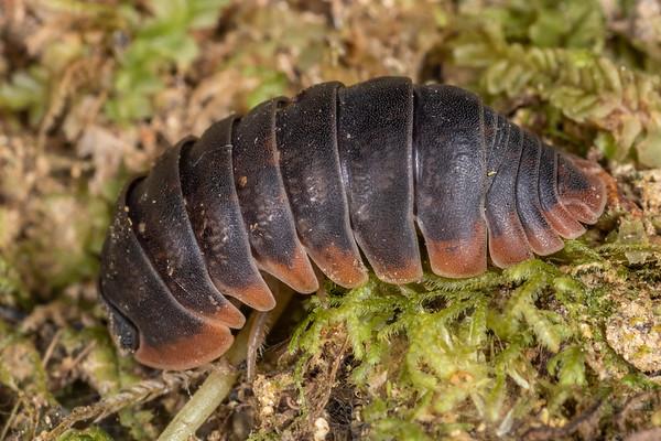 Spherillo rufomarginatus