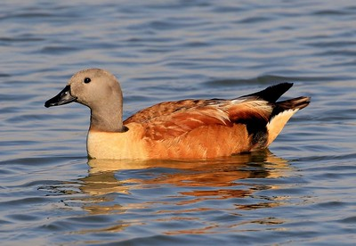 South African Shelduck (escape)