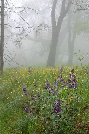 Lupines (blue flowers, foreground) and California Buttercups (Ranunculus californicus, yellow flowers in the background) in a hazzy early morning at the Henry W. Coe State Park, California.