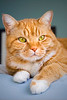 Orange colored tabby cat relaxing on the edge of a bed. Photography fine art photo prints print photos photograph photographs image images artwork.