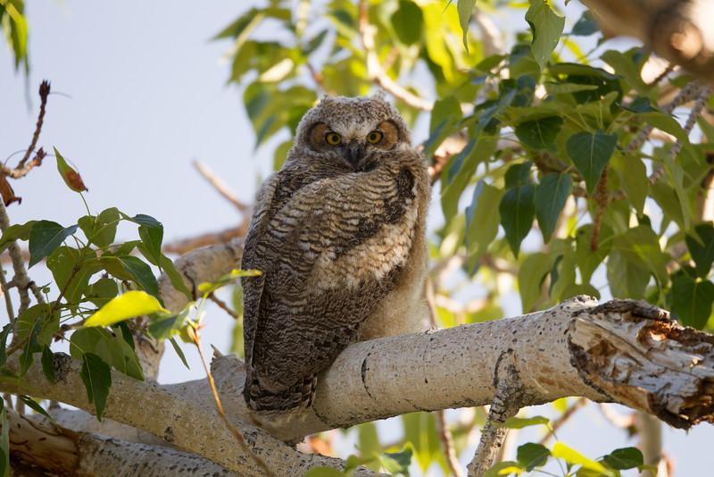 Great-horned Owl near Gardnerville  Nevada 2016 05 26-1.CR2